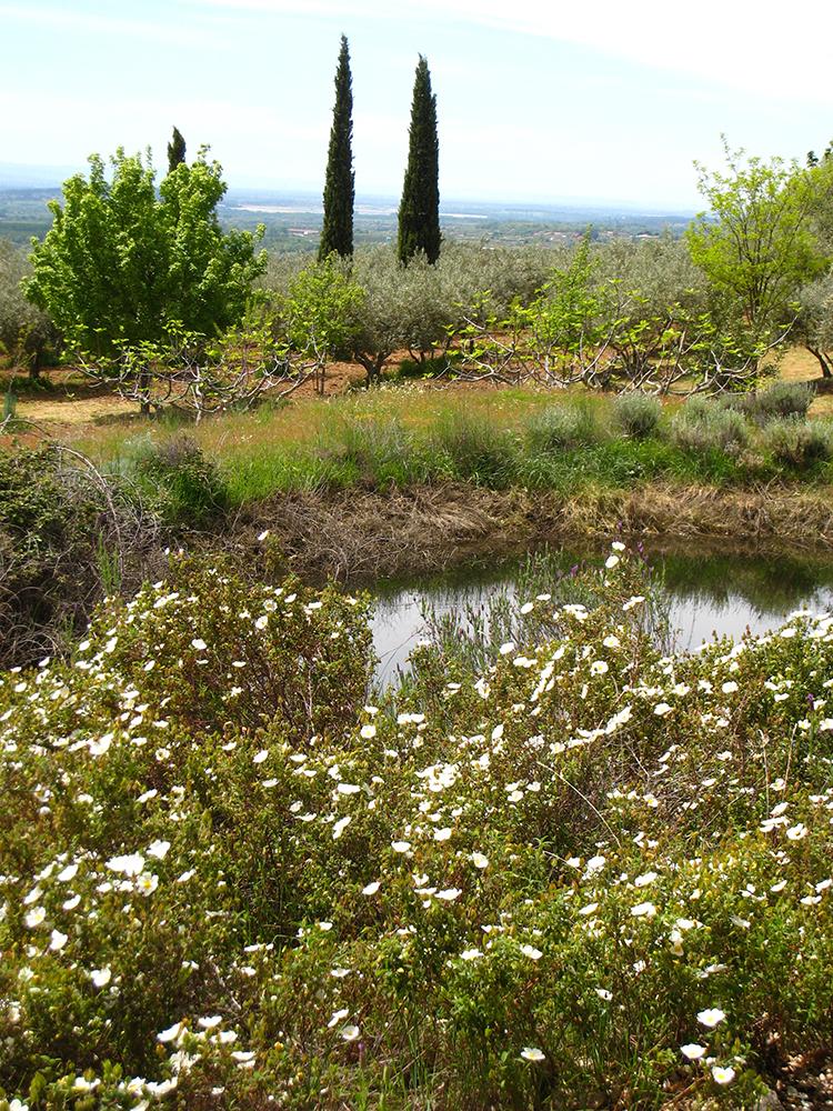 """Figuras 29 y 30. A la ziquierda, la charca de tierra grande en Diciembre de 2007. En primer término jaras y """"reviejas""""; al fondo terrazas de olivos, cipreses, etc. A la derecha, vista panorámica de la finca desde la terraza en el otoño 2017."""